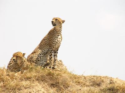 Cheetahs, Serengeti NP