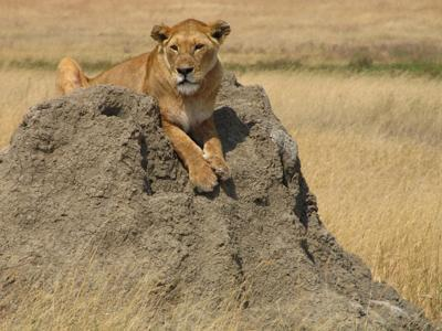 Lion on Termite Mound, Serengeti