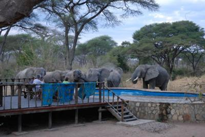 Elephants drinking at the swimming pool at Tandala tented camp