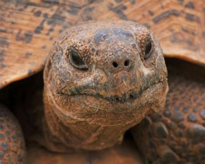 Tortoise, Addo National Park