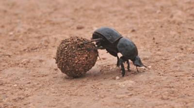 Flightless dung beetle in action, Addo