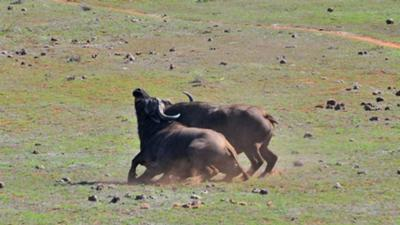 Cape buffalo fight at Addo
