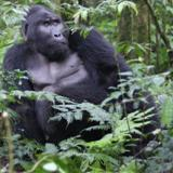 Silverback gorilla - Fabiano Mazza