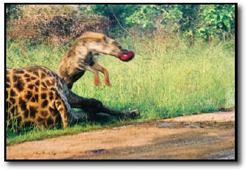 hyena picture