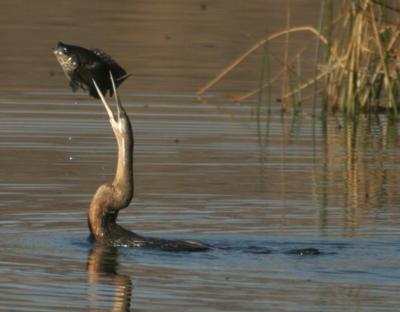 African darter fishing for breakfast