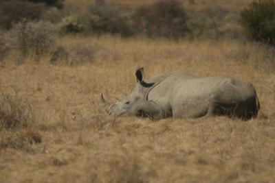 White rhino having a snooze at midday