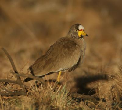 African wattled lapwing enjoying the early morning sun