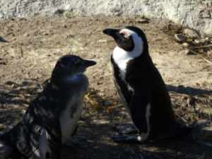 Jackass or African penguin
