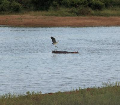 Heron landing on hippo