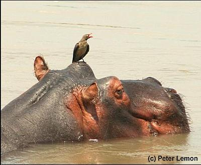 Hippo Perch For Oxpeckers