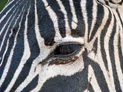 Zebra Keeping A Close Watch