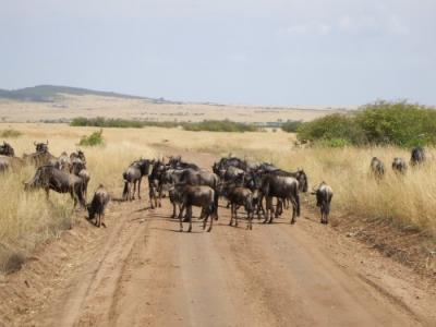 Wildebeest Herd in Amboseli, Kenya