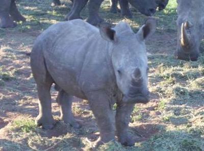 Baby Rhino at Falaza