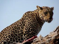 Leopard - Sue Sinkinson