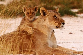 Lion and cub - Larry Kay