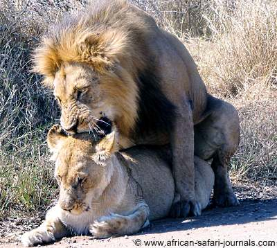 Lions Mating in the Ngorongoro Crater: Overseas Adventure Travel
