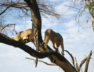 Lions in tree