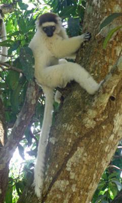 Sifake Lemur