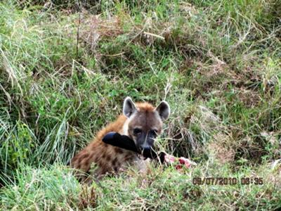 Hyena chewing on bones - Masai Mara