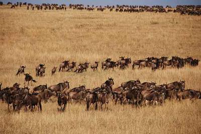 Migration Herd