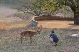 Mlilwane Swaziland - nyala in camp