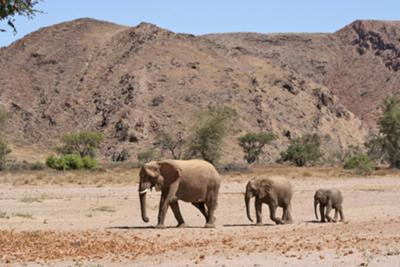 Desert elephants near Doro Nawas adjacent to the Abu Huab River
