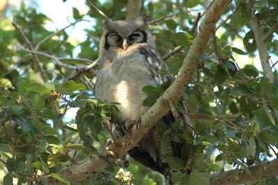 The very large Verreaux's Eagle-Owl