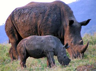 Baby and mother rhino