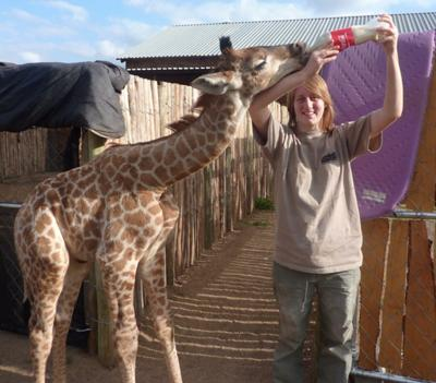 Feeding Duke the giraffe calf