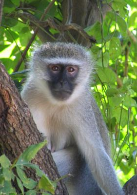 Vervet monkey - ©www.african-safari-journals.com