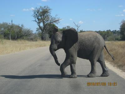 Young elephant in Kruger National Park