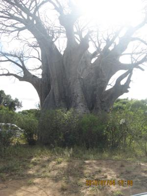 Baobab tree, Kruger National Park