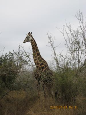 Giraffe was the first animal we saw