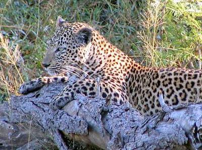 Dozing Leopard