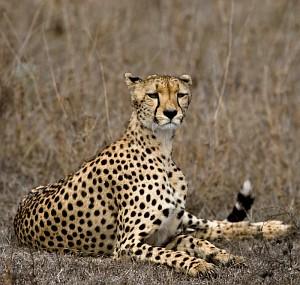 Regal cheetah
