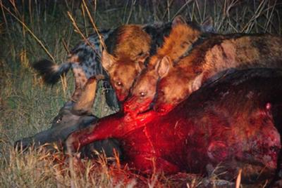 Hyenas with stolen prey