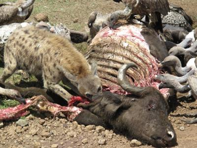 Hyena and vultures on carcass