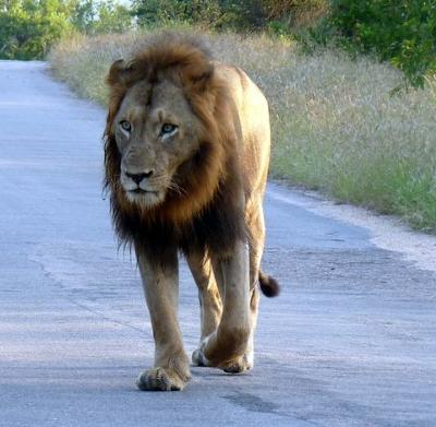 Lion on main road coming in Malelane Gate