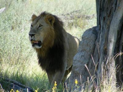 I found this lion by following his spoor