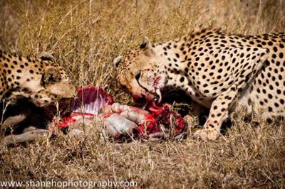 Cheetah on warthog kill