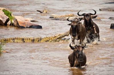 Crocodiles at Mara crossing