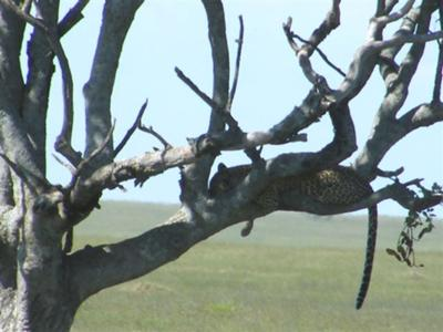 Leopard in tree - can you see the feet of the reedbuck?