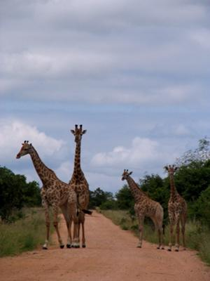 Giraffes in Kruger National Park - ©www.african-safari-journals.com