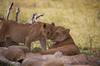 A mama lioness petting its offspring.