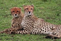 two cheetah
