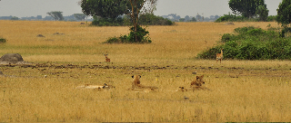 Lions in Queen Elizabeth National Park, Uganda