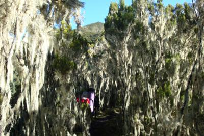 Giant Heather & Spanish Moss (Usnea)
