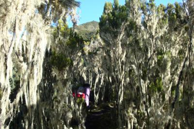 Giant Heather & Spanish Moss (Usnea)