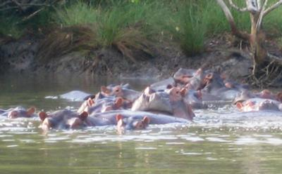 Hippos, my favorites!