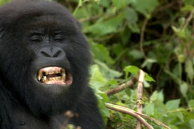 Gorilla teeth